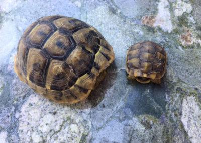 skildpadder.gal